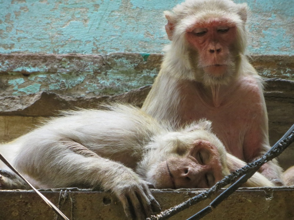 monkey-3721629_1920